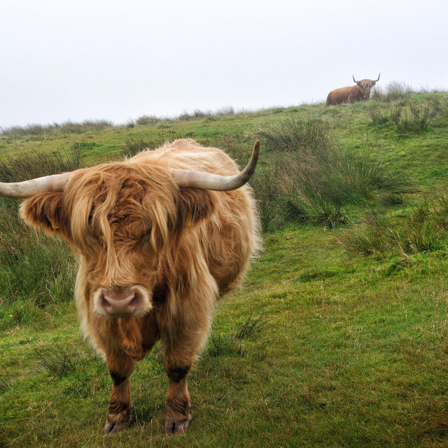 """Highland cattle on Islay, Scotland"" stock image"