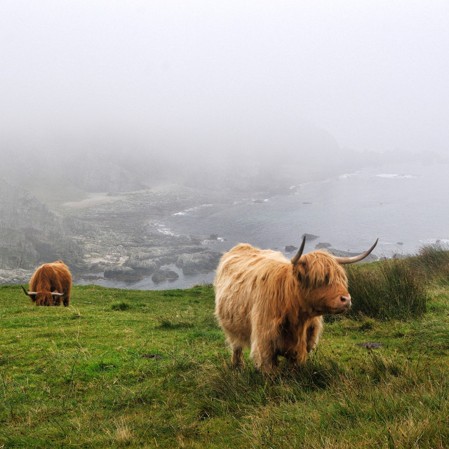 """Highlands cows grazing near the coast on Islay"" stock image"