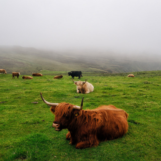 """Highland cattle grazing on Islay, Scotland"" stock image"