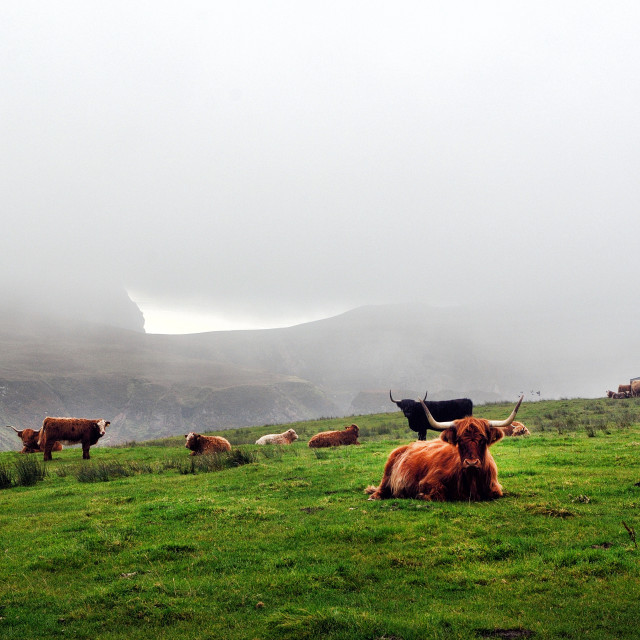 """Highland cattle grazing near the coast, Islay"" stock image"