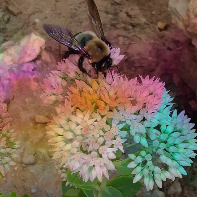 """bee on a rainbow flower"" stock image"