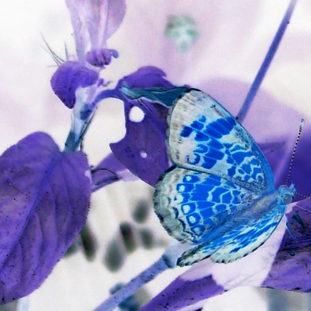 """""""blue butterfly on purple leaves"""" stock image"""