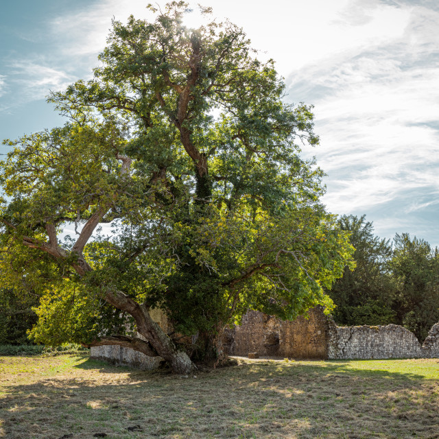 """""""A tree growing out from ancient ruins"""" stock image"""