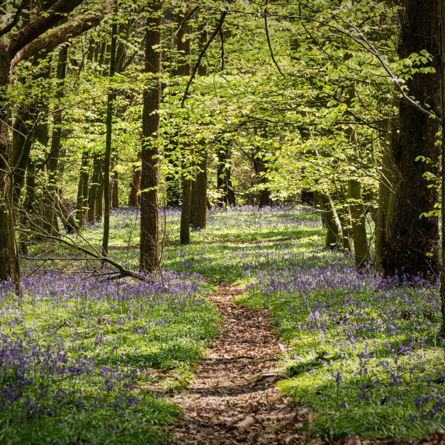"""""""A Path through the woods with bluebells"""" stock image"""