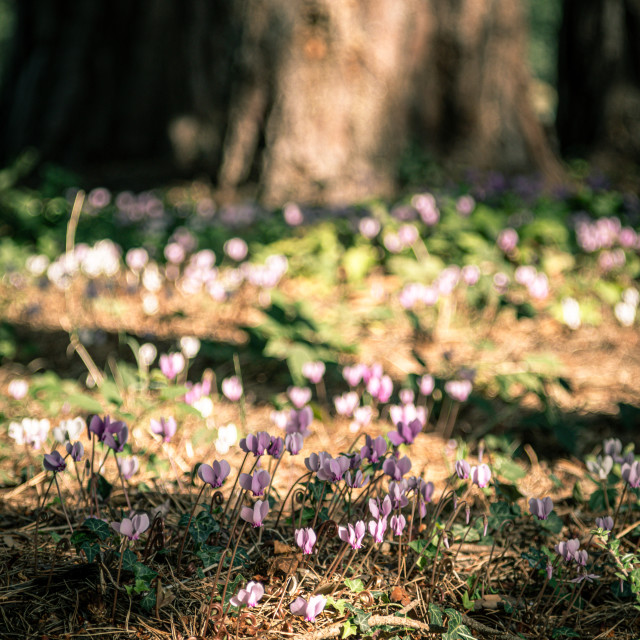 """""""white and pink flowers with trees"""" stock image"""