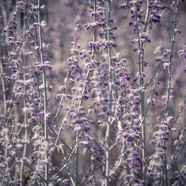 """Lavender stems"" stock image"