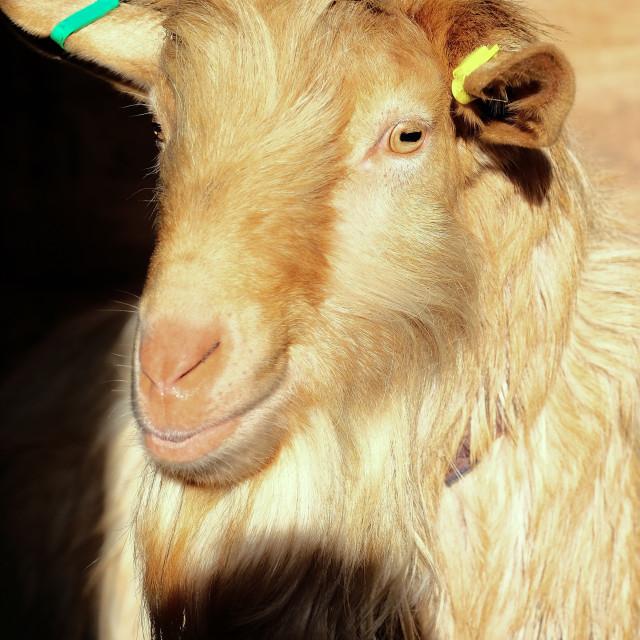 """goat head"" stock image"