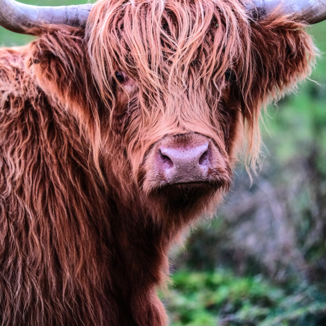 """Highland bull head"" stock image"