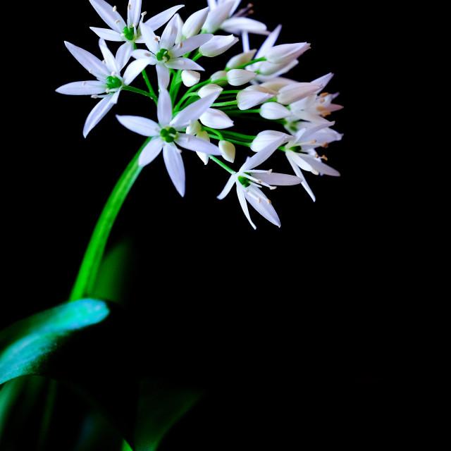 """wild garlic"" stock image"