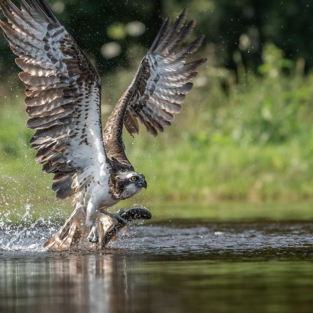 """OSPREY TAKE OFF"" stock image"