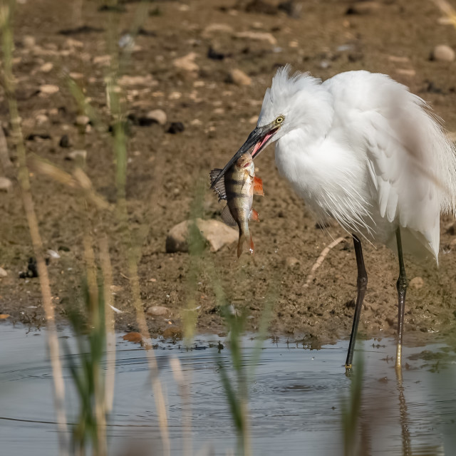"""""""Little Egret with Perch"""" stock image"""