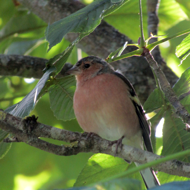 """Chaffinch in tree"" stock image"