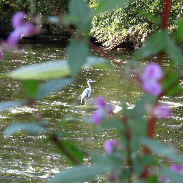 """Grey heron in distance on river"" stock image"
