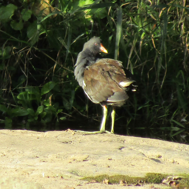 """Moorhen on riverside"" stock image"