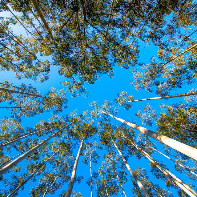 """Blue Sky Trees"" stock image"