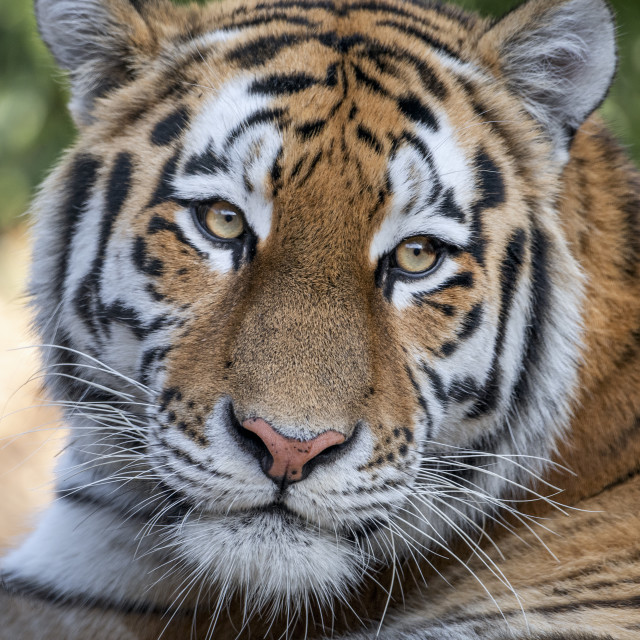 """Four-year-old female Amur tiger"" stock image"