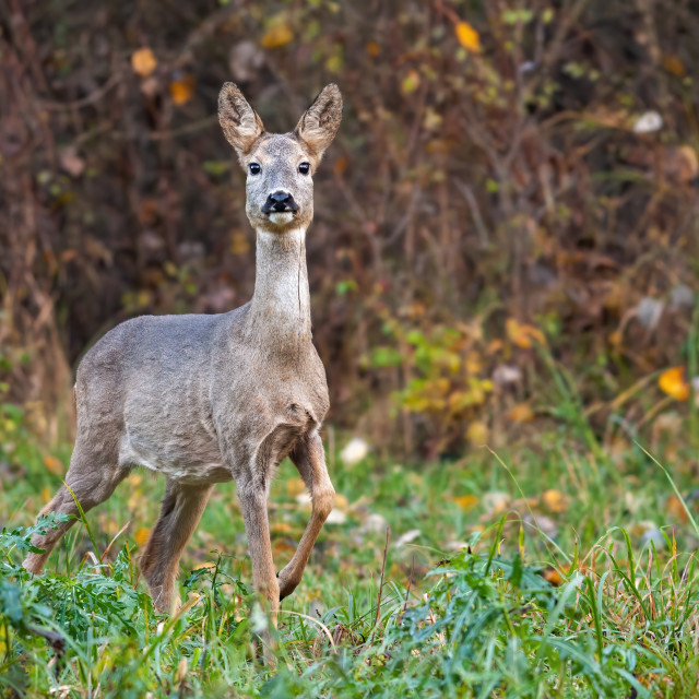 """Roe deer doe in autumn moving forward with leg in the air."" stock image"