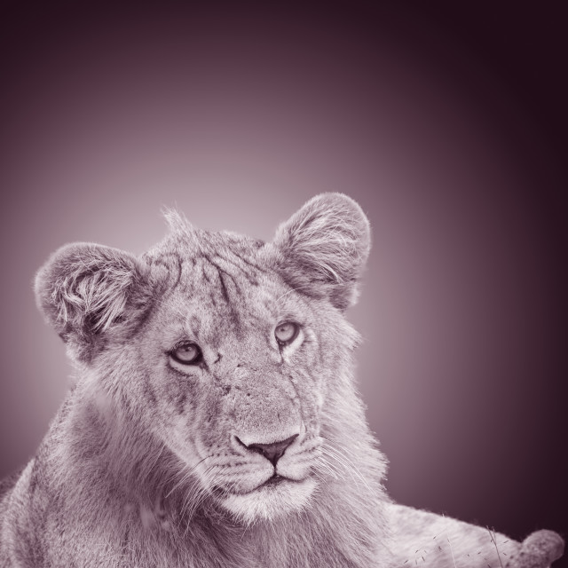 """""""Lioness in the grass"""" stock image"""