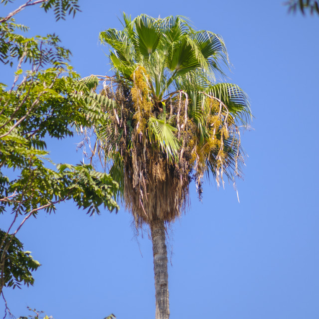 """Mature California Fan Palm"" stock image"