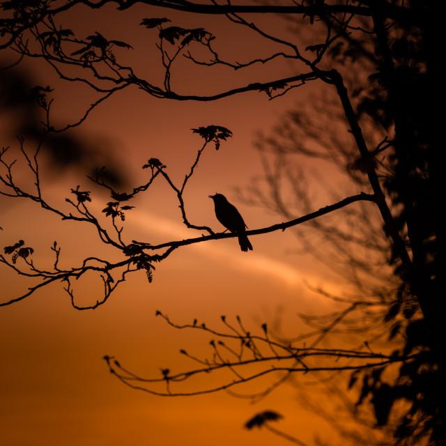 """Bird Silhouette at sunrise"" stock image"