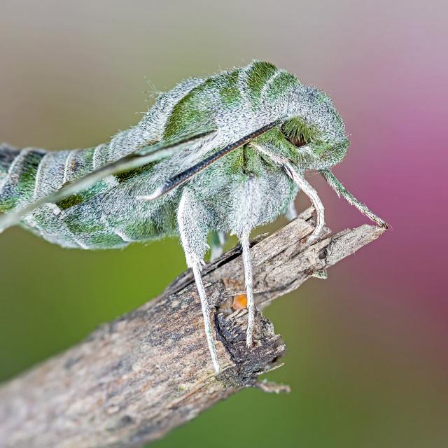 """""""Willowherb Hawk-moth, Proserpinus proserpina"""" stock image"""