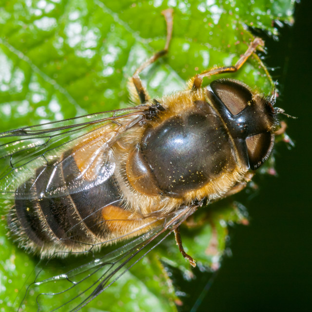 """""""Drone Fly Hoverfly"""" stock image"""