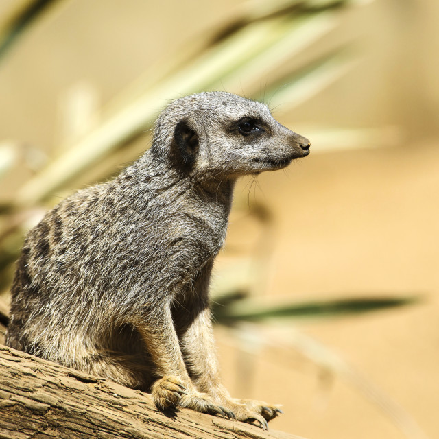 """Meercat in Profile"" stock image"