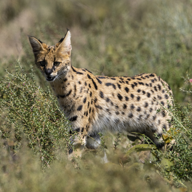 """Serval (Leptailurus serval), Ndutu, Ngorongoro Conservation Area, Serengeti,..."" stock image"