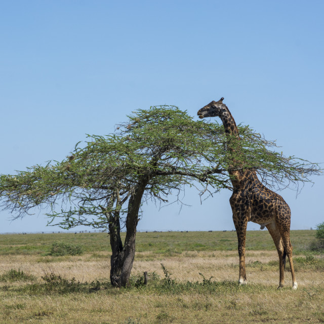 """Masai giraffe (Giraffa camelopardalis tippelskirchi), Ndutu, Ngorongoro..."" stock image"