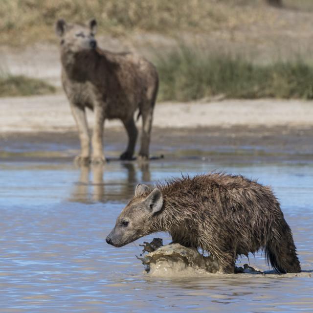 """Spotted hyaenas, Crocura crocuta, walking in the water."" stock image"