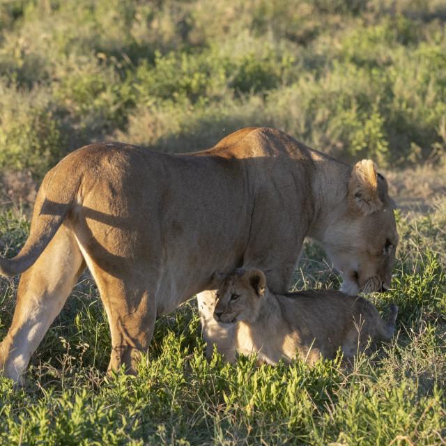 """""""Lioness (Panthera leo) and its cub, Ndutu, Ngorongoro Conservation Area,..."""" stock image"""
