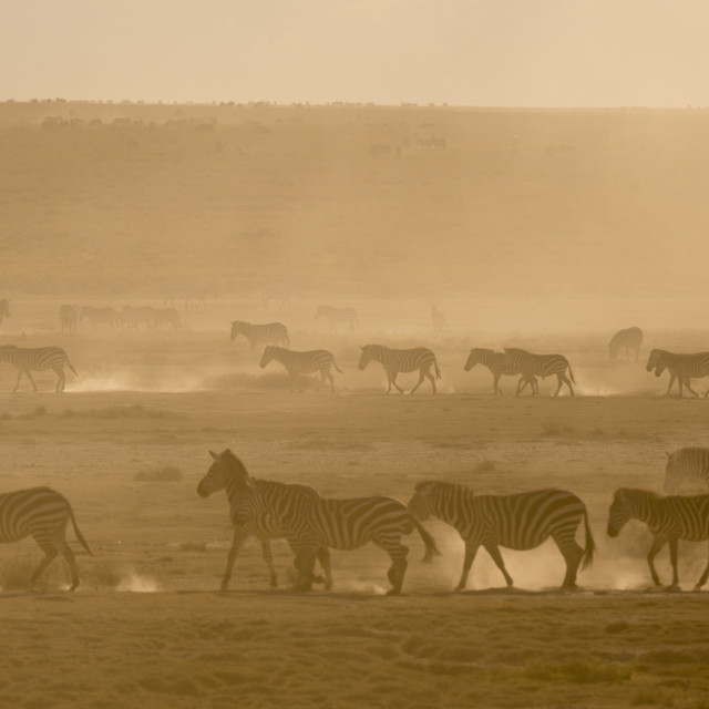 """""""Plains zebras, Equus quagga, walking in dust at sunset the Hidden Valley."""" stock image"""