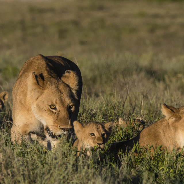"""""""Two lionesses, Panthera leo, and two 5 weeks old cubs in the grass."""" stock image"""