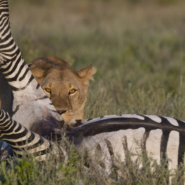 """A lioness, Panthera leo, feeding on a common zebra, Equus quagga."" stock image"