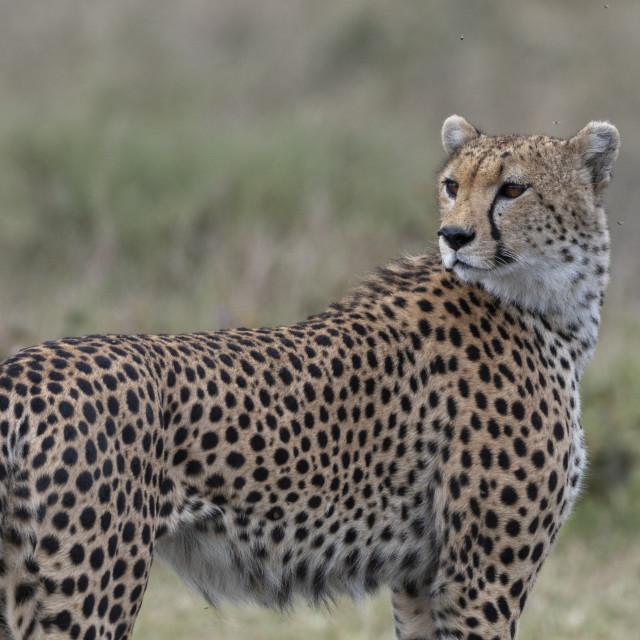 """""""Cheetah (Acynonix jubatus), Seronera, Serengeti National Park, Tanzania."""" stock image"""