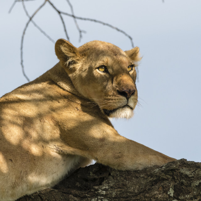 """""""Lioness (Panthera leo) on a tree, Ndutu, Ngorongoro Conservation Area,..."""" stock image"""