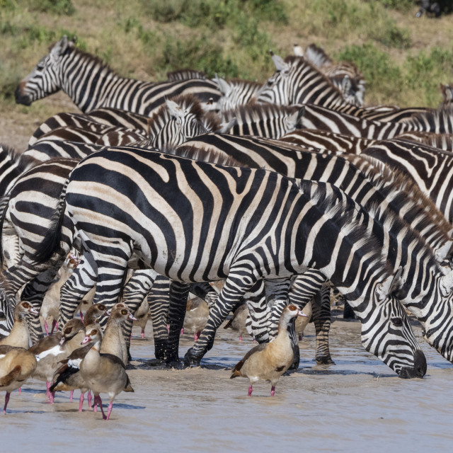 """""""Plains zebras (Equus quagga), Ndutu, Ngorongoro Conservation Area, Serengeti,..."""" stock image"""