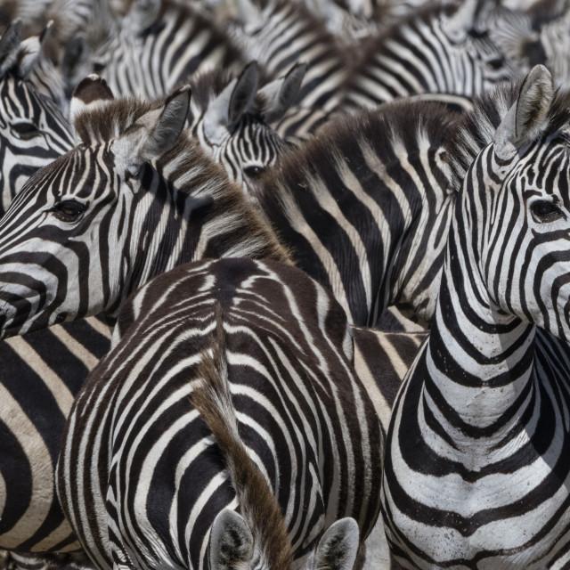 """A herd of plains zebras, Equus quagga, in the Hidden Valley."" stock image"