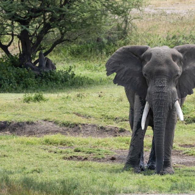 """""""African elephant (Loxodonta africana), Seronera, Serengeti National Park,..."""" stock image"""
