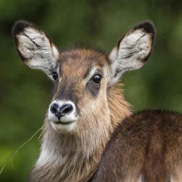 """Female waterbuck (Kobus ellipsiprymnus), Ngorongoro crater, Ngorongoro..."" stock image"