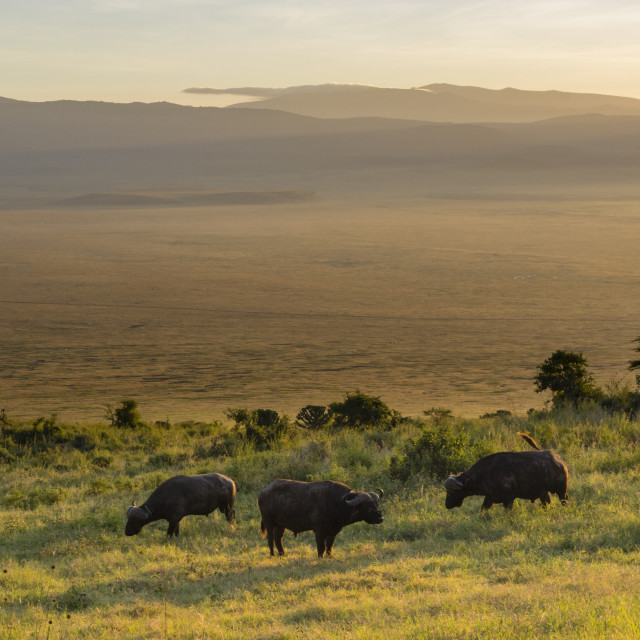 """""""Cape buffalos, Syncerus caffer, grazing in the Ngorongoro crater."""" stock image"""