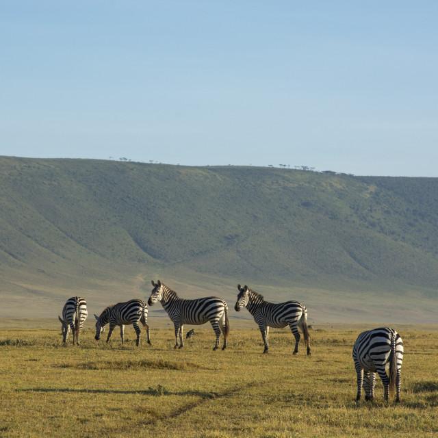 """Common zebras (Equus quagga) in the Ngorongoro crater, Ngorongoro..."" stock image"