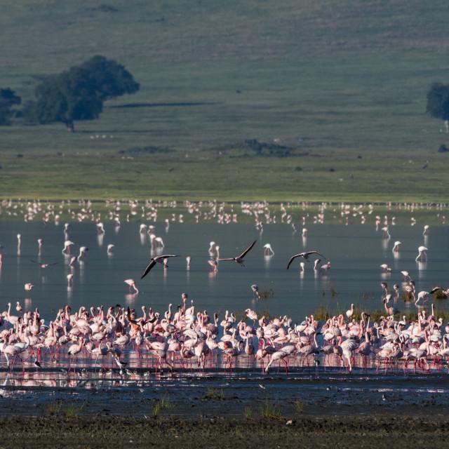 """Lesser flamingos, Phoenicopterus minor, feeding on crater lake."" stock image"