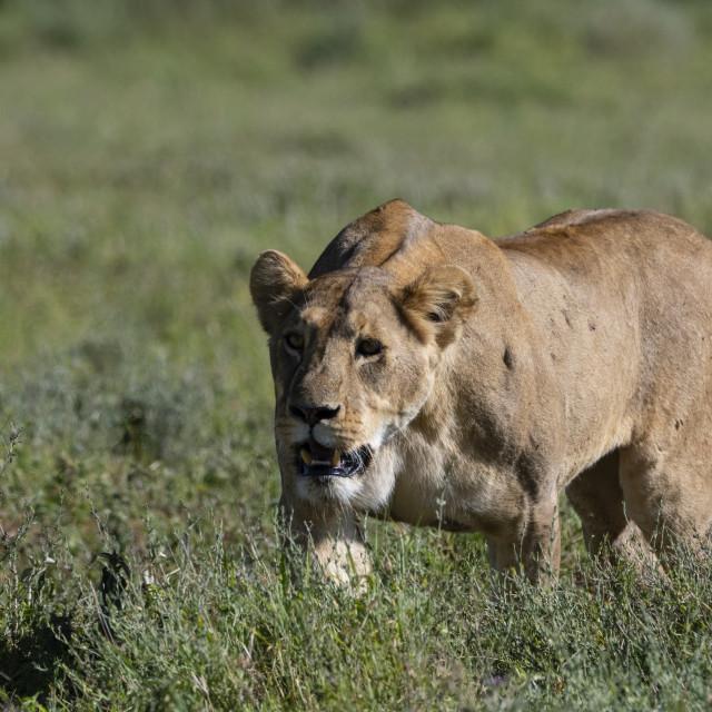 """""""Lioness (Panthera leo), Ngorongoro crater, Ngorongoro Conservation Area,..."""" stock image"""