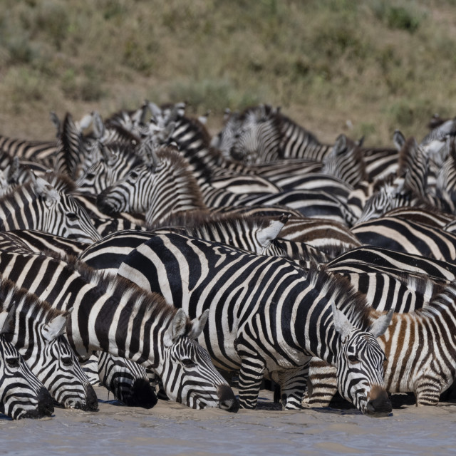 """""""A herd of plains zebras, Equus quagga, drinking at Hidden Valley lake."""" stock image"""