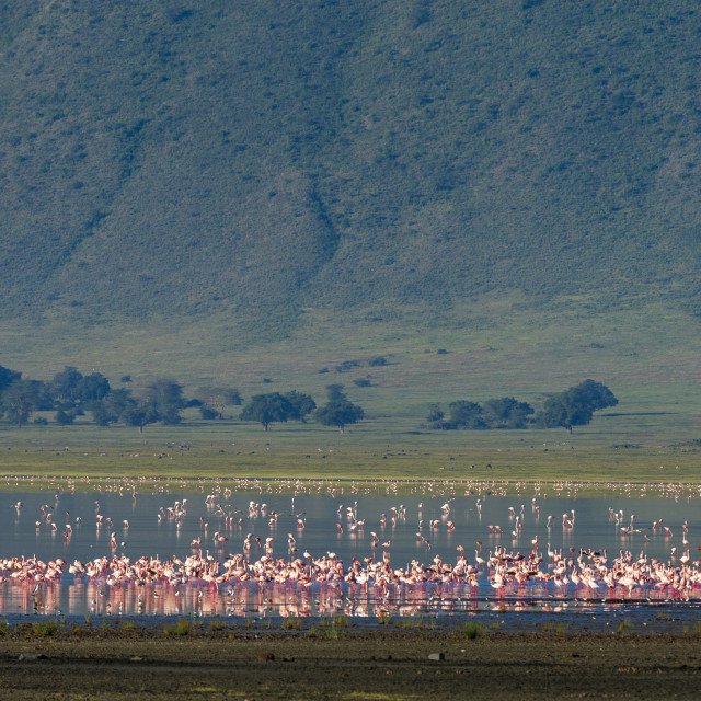 """Lesser flamingos, Phoenicopterus minor., feeding on crater lake."" stock image"