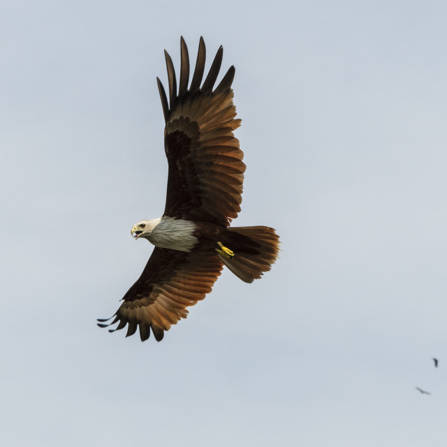 """A Brahminy kite (Haliastur indus), the symbol of Langkawi, Kilim Geoforest..."" stock image"