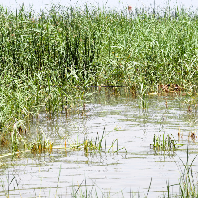 """""""Reeds grow in the shallow waters"""" stock image"""