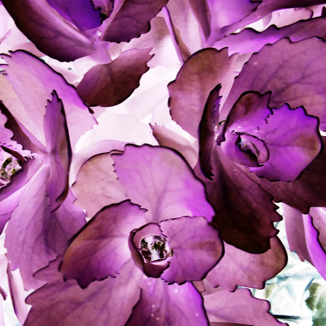 """""""abstract purple succulent"""" stock image"""