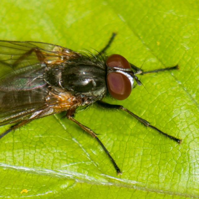 """Fannia lustrator Fly"" stock image"